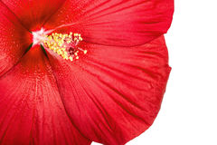 Red hibiscus flower, isolated on white background Royalty Free Stock Images