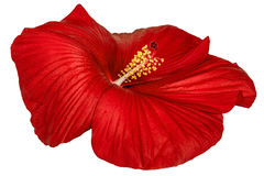 Red hibiscus flower, isolated on white background Stock Images