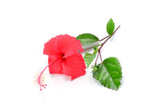 Red Hibiscus flower isolated on white background Royalty Free Stock Image