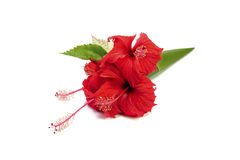 Red hibiscus flower isolated on white background.  Royalty Free Stock Photo