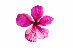 A red hibiscus flower isolated on white background Stock Photos