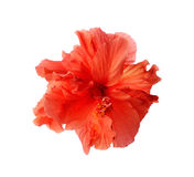 Red hibiscus flower isolated on white background. A big red hibiscus flower isolated on white background Stock Photo