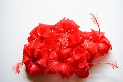 Red hibiscus flower isolated on white background. Green spring grass isolated white background Royalty Free Stock Photo