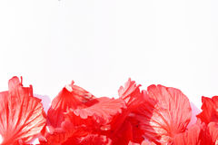 Red hibiscus flower isolated on white background. Green spring grass isolated white background Royalty Free Stock Images