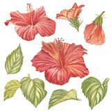 Red hibiscus flower isolated on white background. Watercolor tropical flower realistic colorful hibiscus with leaves. Flowery Hawaiian composition. Exotic Stock Photos