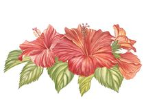 Red hibiscus flower isolated on white background. Watercolor tropical flower realistic colorful hibiscus with leaves. Flowery Hawaiian composition. Exotic Stock Images
