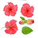 Red hibiscus flower isolated on white background. Red hibiscus flower isolated on white Stock Photos