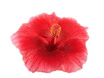 Red hibiscus flower isolated on white. Background. Hibiscus is a genus of flowering plants in the mallow family, Malvaceae. Several species are widely Stock Photos