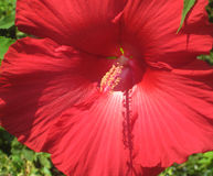 Red Hibiscus Flower with Large Petals Royalty Free Stock Photo