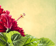 Red hibiscus flower with leaves on yellow background Royalty Free Stock Image