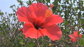 Red hibiscus flower moving in the wind stock footage
