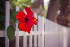 Red hibiscus flower near a white fence close-up shallow depth of Royalty Free Stock Photography