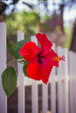 Red hibiscus flower near a white fence close-up shallow depth of Stock Image