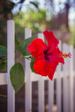 Red hibiscus flower near a white fence close-up shallow depth of Stock Photo
