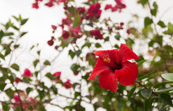 Red Hibiscus. A red Hibiscus flower with other flowers and leaves in the background and a overcast sky Stock Photography