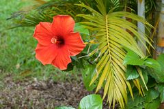 Red Hibiscus flower and palm branch stock photo