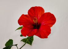 Red hibiscus flower with a pestle stamens and green leaves on a Royalty Free Stock Photography