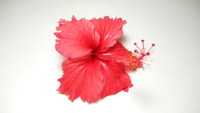 Red hibiscus flower photo collection Royalty Free Stock Photography