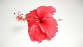 Red hibiscus flower photo collection Stock Photo