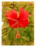 Red hibiscus flower on a piece of old paper Stock Image