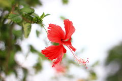 Red hibiscus. Flower in Ratchaburi Thailand Royalty Free Stock Photography