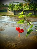 Red hibiscus flower, rice field Bali stock image