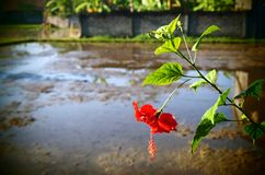 Rice field Bali, red hibiscus Royalty Free Stock Image