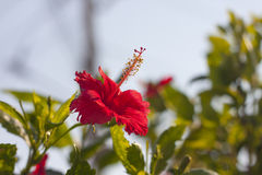 Red hibiscus flower. That's growth in Thailand. symbol of nature, symbol of Malaysia Stock Images