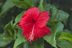 Red hibiscus flower. That's growth in Thailand. symbol of nature, symbol of Malaysia Stock Photo