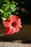 Red hibiscus flower. A sunlit red hibiscus flower Stock Images