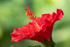 Red Hibiscus Flower on Sunset. On Summer in the Garden stock photo