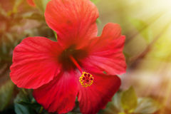 Red hibiscus flower in the sunshine Stock Image