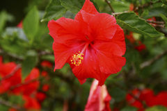 Red Hibiscus Flower in Tropical Garden Royalty Free Stock Photos