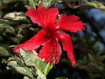 Red hibiscus flower. Variegation is the appearance of differently coloured zones in the leaves, and sometimes the stems, of plants Royalty Free Stock Images