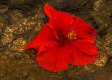 Red Hibiscus flower in the water background seashells royalty free stock image