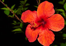 Red hibiscus flower. Water drops on the hibiscus flower Stock Photography