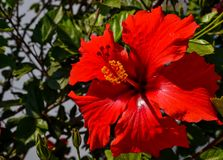 Red hibiscus flower wet rain after the rain had passed. Royalty Free Stock Photography