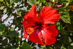 Red hibiscus flower wet rain after the rain had passed. Stock Image