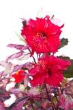Red hibiscus flowers. Stock Photos