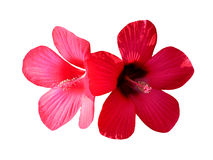 Red hibiscus flowers  Royalty Free Stock Photos