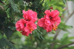 Red Hibiscus flowers Royalty Free Stock Photography