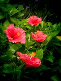 Red Hibiscus Flowers Blooming. The Red Hibiscus Flowers Blooming in The Garden stock images