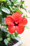 Red hibiscus flowers blossom in the garden. Royalty Free Stock Photos