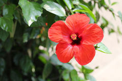 Red hibiscus flowers blossom in the garden. Stock Photo