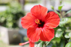 Red hibiscus flowers blossom in the garden. Royalty Free Stock Image