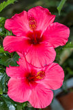Red Hibiscus flowers Royalty Free Stock Image