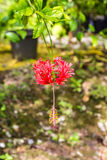 Red hibiscus flowers Stock Photography