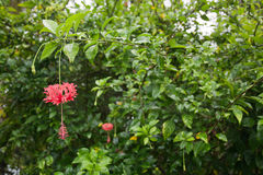 Red hibiscus flowers Royalty Free Stock Images