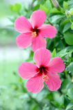 Red Hibiscus flowers. Stock Photography