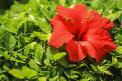 Red Hibiscus Flowers in garden stock image
